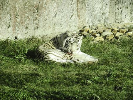 Free Stock Photo of White tiger