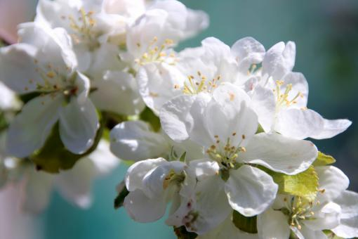 Free Stock Photo of Appletree Flowers