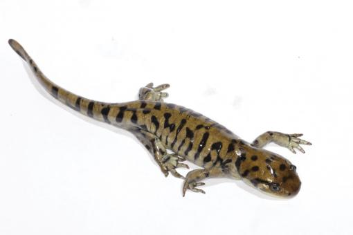 Free Stock Photo of Tiger Salamander
