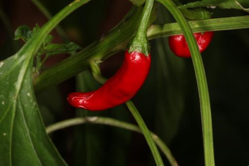 Free Stock Photo of Hot red pepper