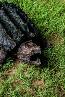 Free Stock Photo of Alligator Snapping Turtle