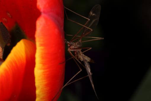 Free Stock Photo of Red Tulip with Cranefly