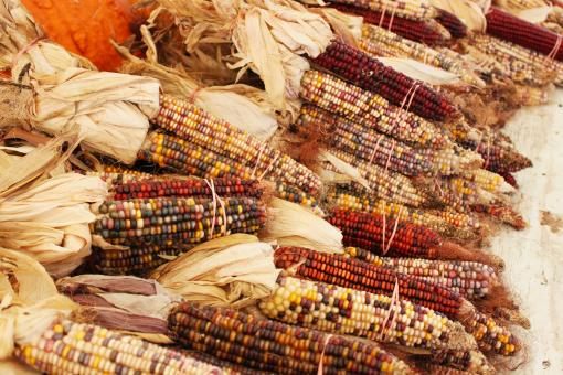 Free Stock Photo of Indian corn