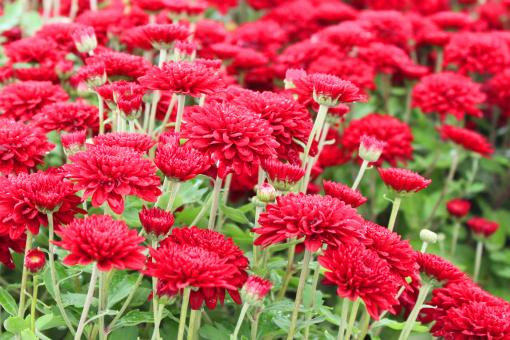 Free Stock Photo of Red mums