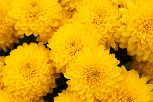 Free Stock Photo of Mums
