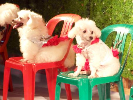 Free Stock Photo of Poodle Dog Show