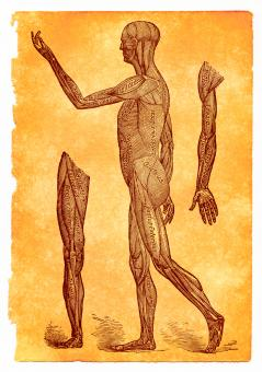 Free Stock Photo of Antique Anatomy Illustration