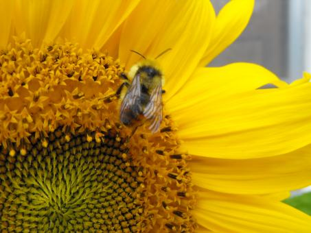 Free Stock Photo of Bee on Sunflower