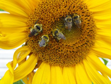 Free Stock Photo of Bees on Sunflower