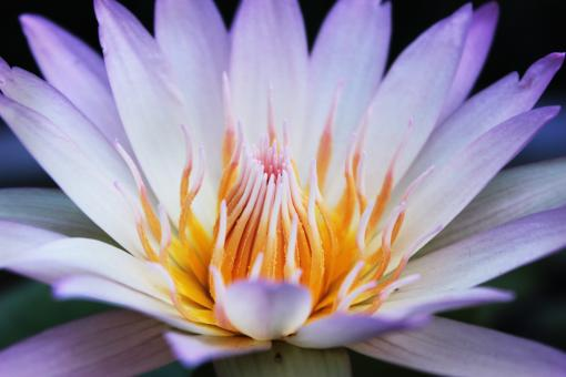 Free Stock Photo of White lotus