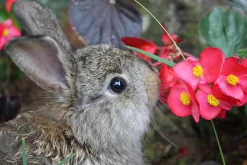 Free Stock Photo of A brown rabbit sniffing red flowers