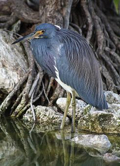 Free Stock Photo of Heron