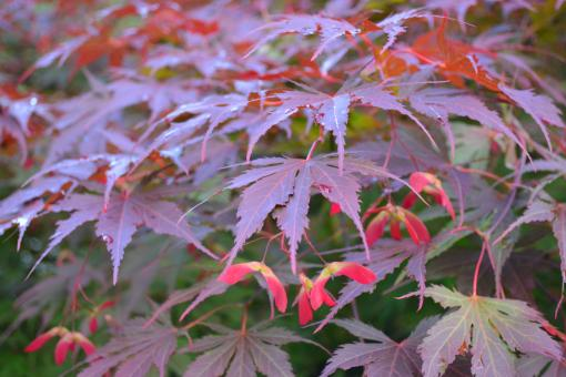 Free Stock Photo of Maple leaves