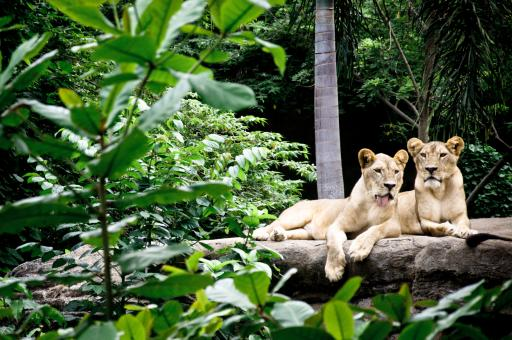 Free Stock Photo of Lions