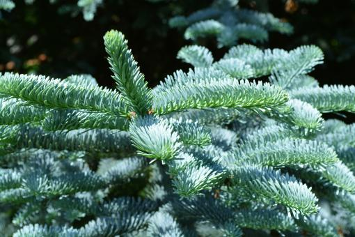 Free Stock Photo of Silver fir tree branch