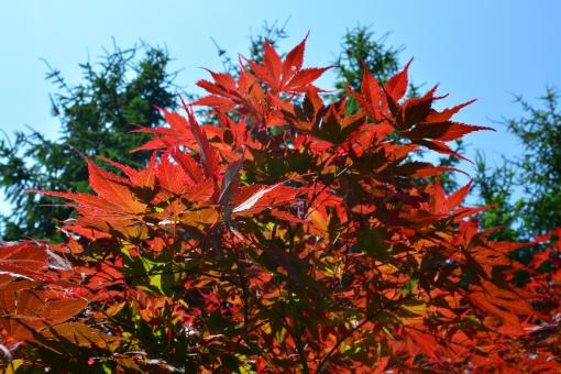 Free Stock Photo of Colorful maple tree