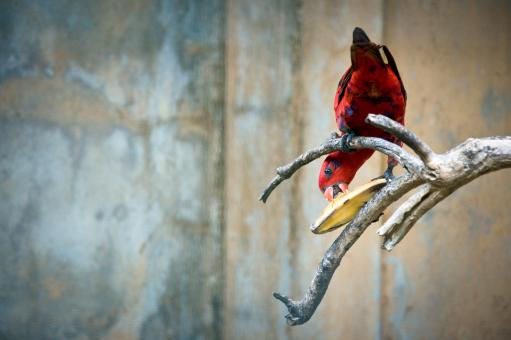Free Stock Photo of Red parrot