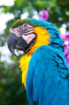 Free Stock Photo of Blue and Gold Macaw bird