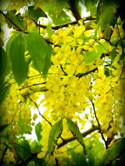 Free Stock Photo of Golden Shower, Purga Cassia fistula
