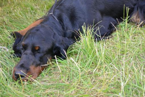 Free Stock Photo of Gordon setter