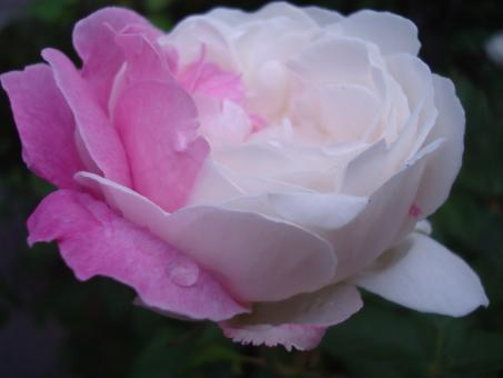 Free Stock Photo of Pink and white rose