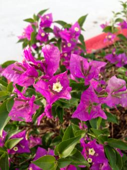 Free Stock Photo of Purple Bougainvillea