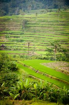 Free Stock Photo of Green Terraced Rice Field
