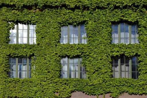 Free Stock Photo of Boston ivy