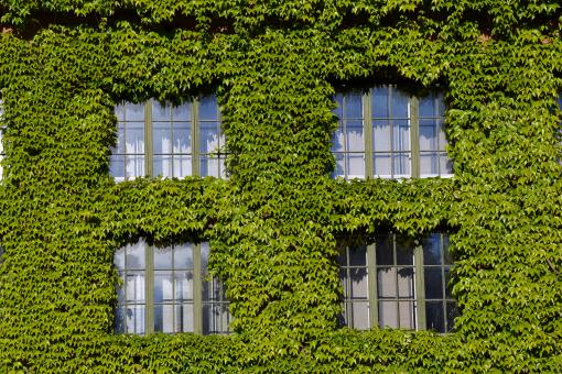 Free Stock Photo of Boston ivy on the wall