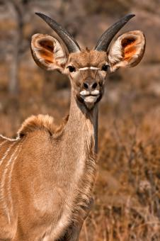Free Stock Photo of Young Kudu - Sepia