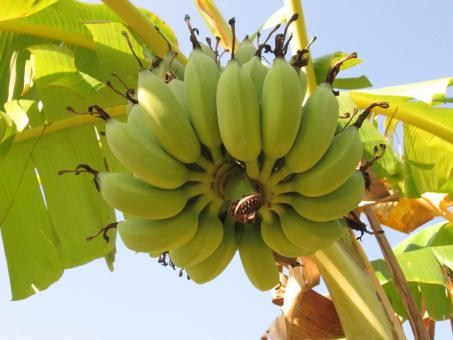 Free Stock Photo of Bunch of ripe bananas