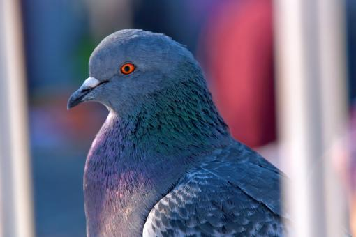 Free Stock Photo of Gray dove