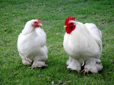 Free Stock Photo of Bentum Hen