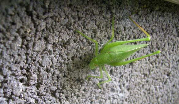 Free Stock Photo of Katie The Katydid