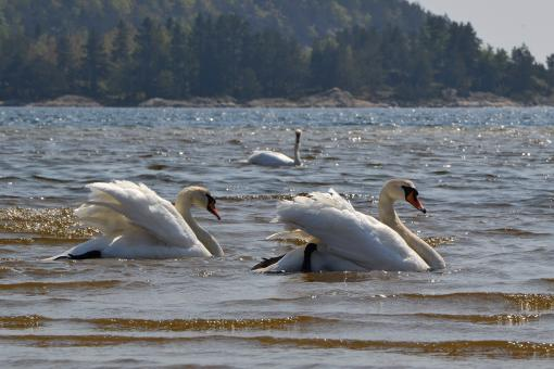 Free Stock Photo of Swans in the sea