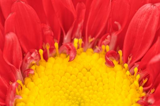 Free Stock Photo of Matsumoto Aster Macro - HDR