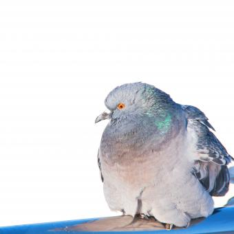 Free Stock Photo of Dove