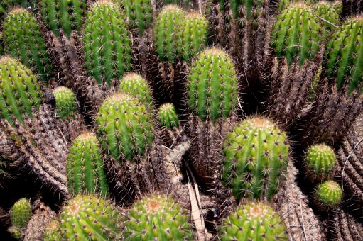 Free Stock Photo of Cactus Plants