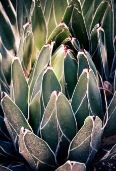 Free Stock Photo of Sharp pointed agave cactus