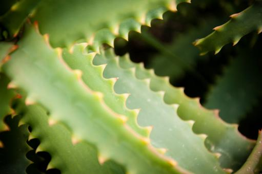 Free Stock Photo of Agave cactus leaves