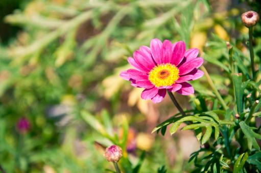 Free Stock Photo of Pink Chamomile