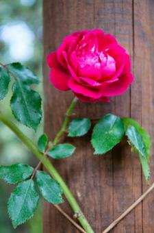 Free Stock Photo of Rose