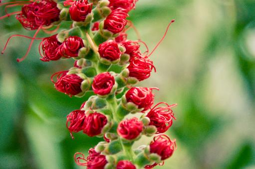Free Stock Photo of Little red flowers