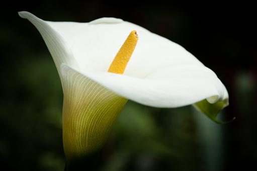 Free Stock Photo of White lily flower