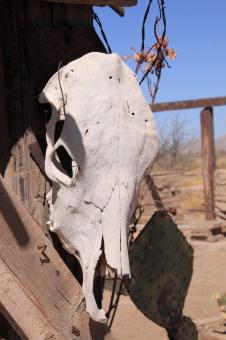 Free Stock Photo of Cow Skull