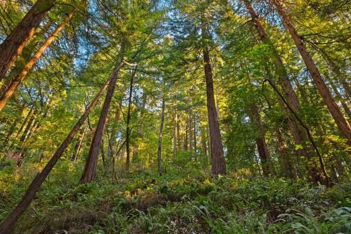 Free Stock Photo of Muir Woods Scenery - HDR