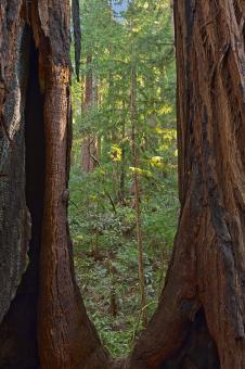 Free Stock Photo of Window to Muir Woods - HDR