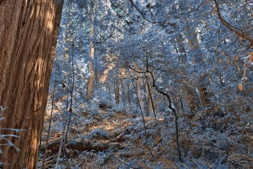 Free Stock Photo of Muir Woods Scenery - Winter Blue HDR