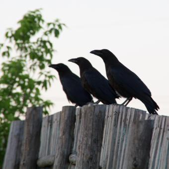 Free Stock Photo of Ravens