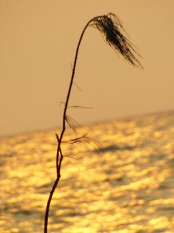 Free Stock Photo of Long Grass Sunset Silhouette